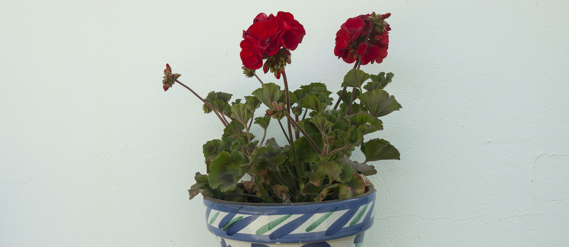 Przesadzanie róż doniczkowych