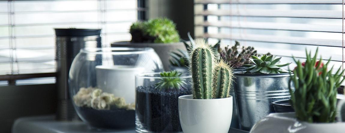 przesadzanie i sadzenie kaktusów