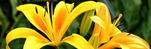 kiedy i jak przesadzac lilie