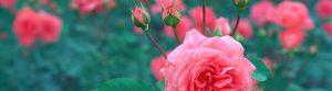 kiedy i jak przesadzać róże