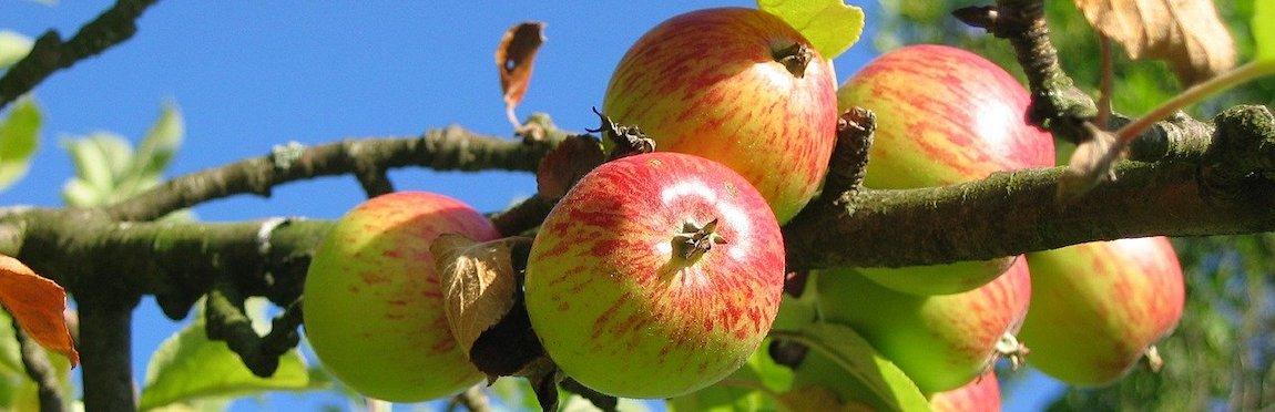 Sadzenie drzew owocowych kiedy i jak