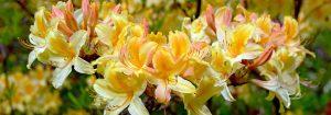 przesadzanie rododendronów