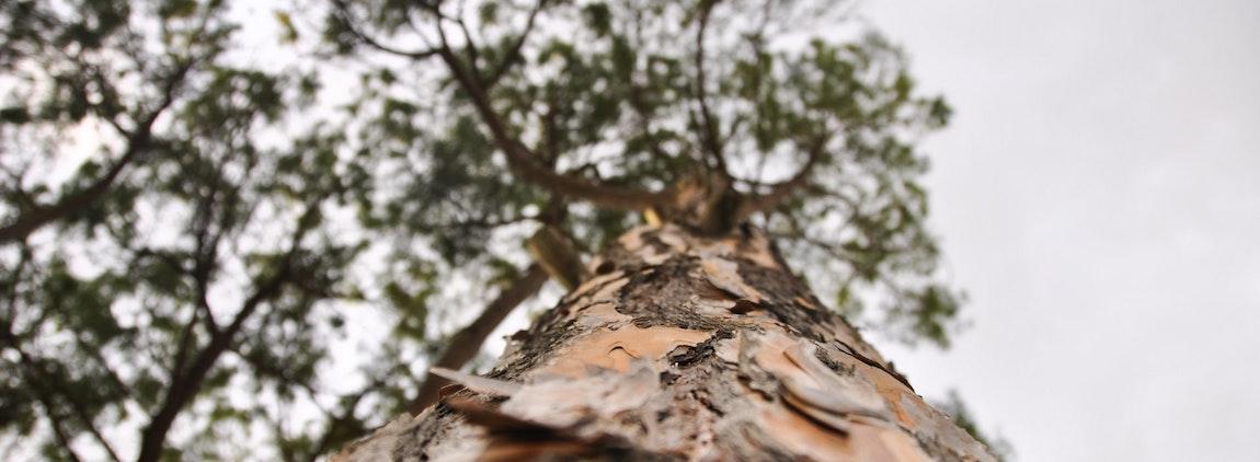 przesadzanie duzych drzew
