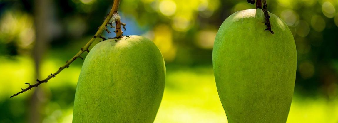 drzewo mango