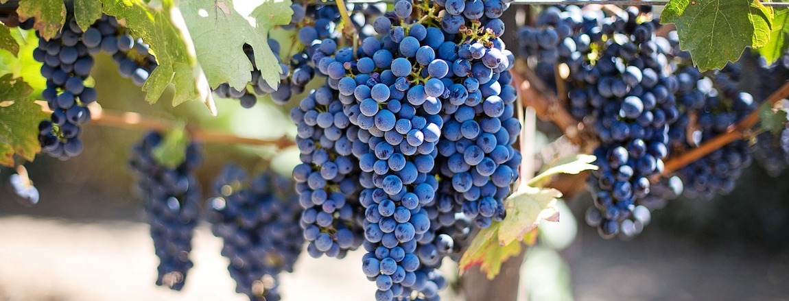 sadzenie winorosli