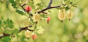 agrest sadzenie i przesadzanie