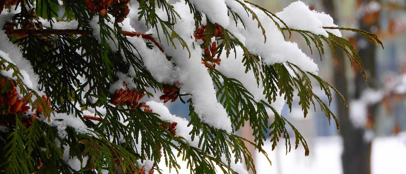 sadzenie iglakow zima