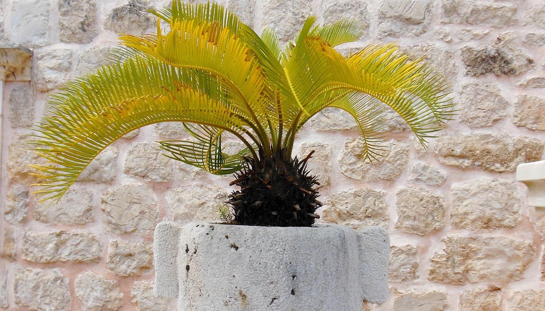 palma doniczkowa przesadzanie